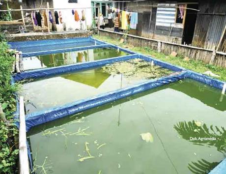 cara budidaya ikan mujair di kolam terpal